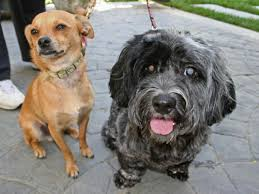 Blind Dog And His Guide Dog Blind Dog His Guide Dog Adopted Nbc Southern California