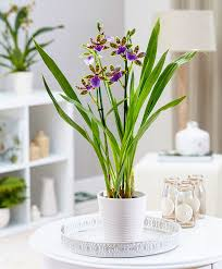 buy house plants now zygopetalum orchid
