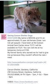belgian sheepdog rescue trust facebook 79 best chow chow dogs for adoption images on pinterest chow