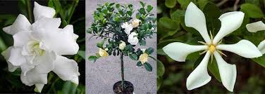 Fragrant Container Plants - toptropicals com rare plants for home and garden