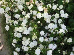 yard plants for spring 2013 rhododendron u0027hardy gardenia u0027 says