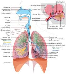 Anatomy And Physiology Of Speech Www Salmonellaplace Com This Is A Tutorial Lecture On The Basics
