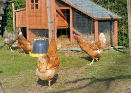 backyard chickens images reverse search