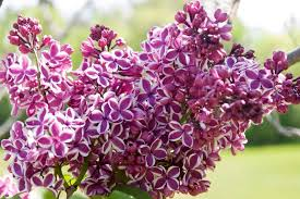 tree with purple flowers 18 lilac varieties hgtv
