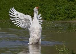 Goose Meme - create meme goose goose white goose meme goose pictures