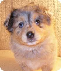 australian shepherd pomeranian mix best 20 pomeranian mix puppies ideas on pinterest husky