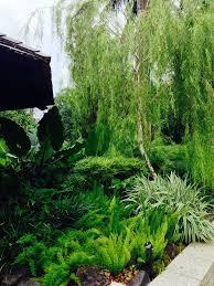 friends of peacehaven botanic park inc new members new plants leptospermum brachyandrum weeping tea tree for driveway trees