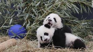 toronto zoo s panda cubs named cnn