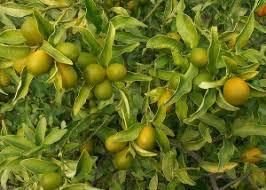 lemon health wiki