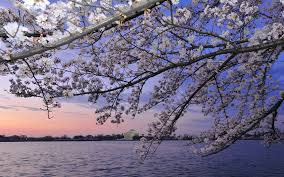 100 year japanese cherry trees blossom in washington dc telegraph
