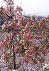 louisa weeping crabapple tree search tree ideas