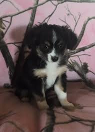australian shepherd puppies for sale southern california california mini australian shepherd puppies for sale