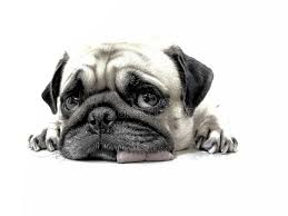 pencil sketch of close up face cute pug puppy dog sleeping by chin