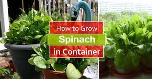 Easy Herbs To Grow Inside How To Grow Spinach In Pots Growing Spinach In Containers U0026 Care