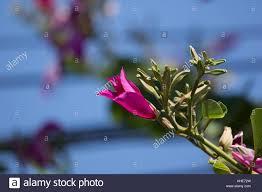 bauhinia purpurea orchid tree purple stock photos u0026 bauhinia