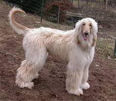 afghan hound speed afghan hound history personality appearance health and pictures