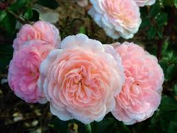 roses for sale apricot drift groundcover roses for sale the planting tree