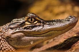 gator u0026 crocodile tales sanibel captiva conservation foundation
