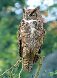 Connecticut wild animals images 1504 best owls images great horned owl beautiful jpg