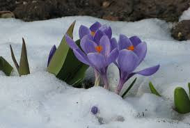flowers crocuses spring flower winter ostern flowers crocus snow