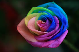 Multicolor Roses Rainbow Roses Are Extra Special Flowers For The Extra Special