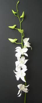 dendrobium orchids fresh flowers 20 stemmed white dendrobium