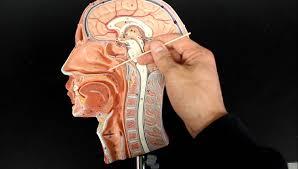 Human Respiratory System Anatomy And Physiology Respiratory System Anatomy Air Flow From The Nose To Laynx 1 2