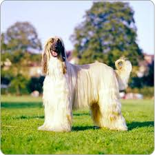 does an afghan hound shed afghan hound dog breeds purina australia