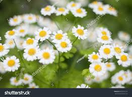 beautiful gentle summer flowers stock photo 687813214 shutterstock
