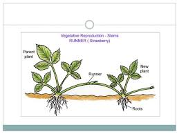 Reproduction In Flowering Plants - asexual reproduction of a flowering plant