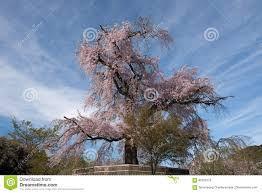 an old famous ancient cherry blossom tree at maruyama park stock