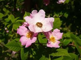 native plants to illinois rosa setigera illinois rose u2013 natural communities native plants