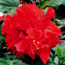 What Is The Meaning Of The Hibiscus Flower - hidden valley hibiscus exotic tropical hibiscus hybrids