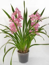 orchids care cymbidium orchid care orchids care info