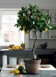 best 25 indoor tree plants ideas on indoor trees air