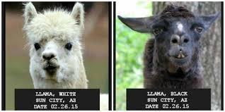 Llama Meme - mugshots 2015 arizona llama chase llamadrama know your meme