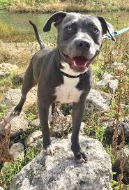 boxer dog rescue florida american bulldog dog for adoption in fort pierce fl adn 557836