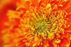 orange color chrysanthemum closeup download links free images