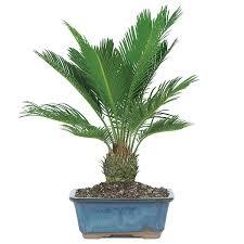 sago palm bonsai care