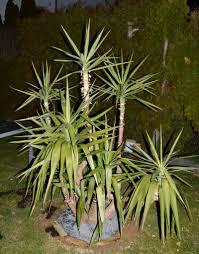 Yucca Wohnzimmer Yucca Cordyline Phormium Dracaena Beliebte Pflanzen