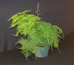 plants u0026 flowers common asparagus fern