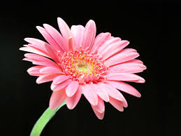 17 best images about daisy flower on pinterest gerber daisies