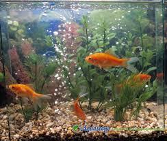 fish bio goldfish aquaec tropical fish