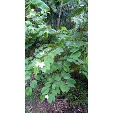 kachnar bauhinia acuminata live ornamental flower plant buy