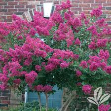 non flowering ornamental trees trees the home depot