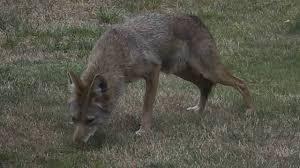 Coyote In My Backyard Backyard Coyote At My House Youtube