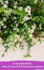 star jasmine on trellis a versatile plant how to care for u0026 grow star jasmine