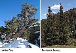 alpine treeline warming experiment
