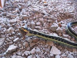 the garter snake a north american icon