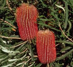 seed collection of australian native plants banksia brownii wikipedia